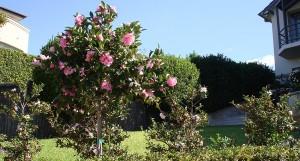 20-camellia